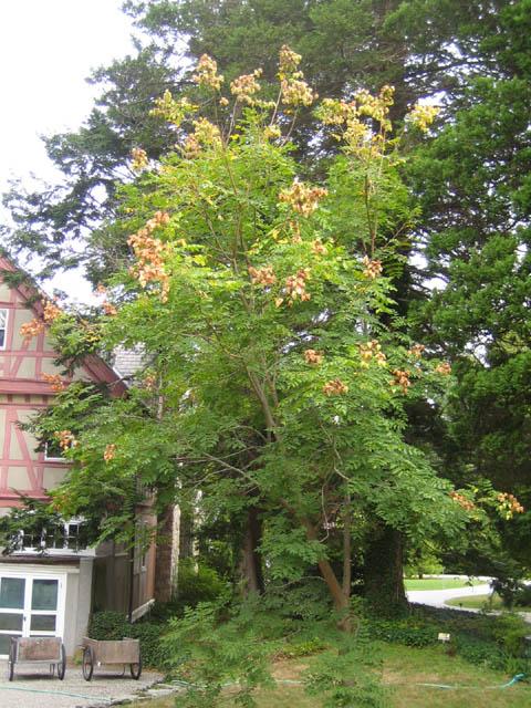 Golden Rain Tree (Koelreutaria paniculata)