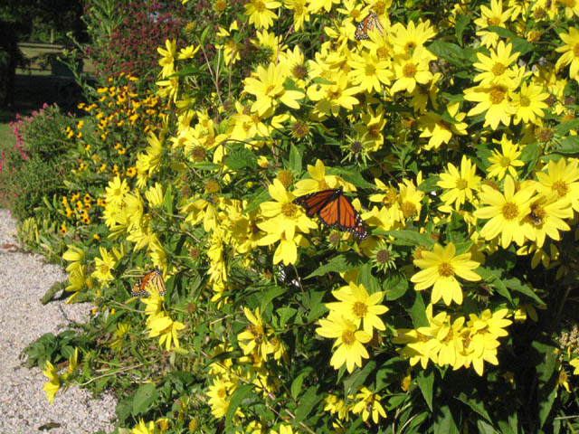 Monarchs on Helianthus 'Lemon Queen'