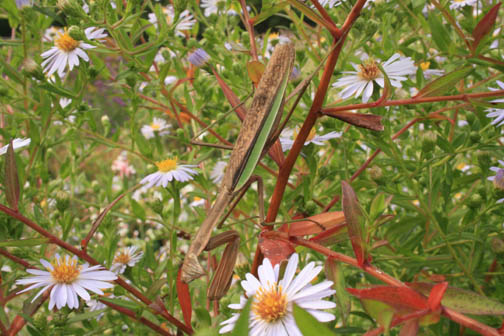 here's looking at you - Praying mantis in an aster