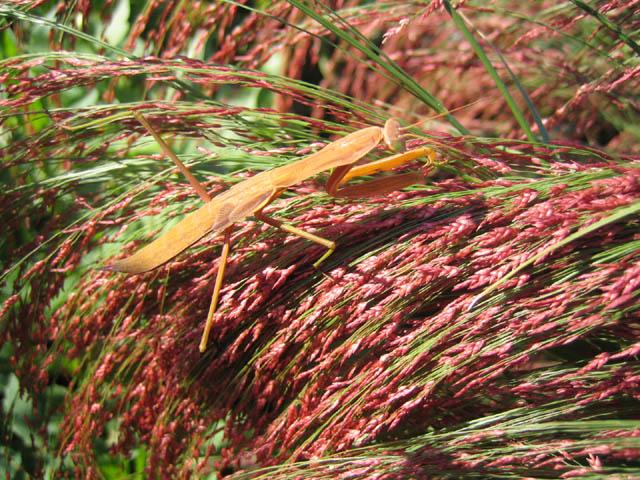 Praying mantis on the Love grass