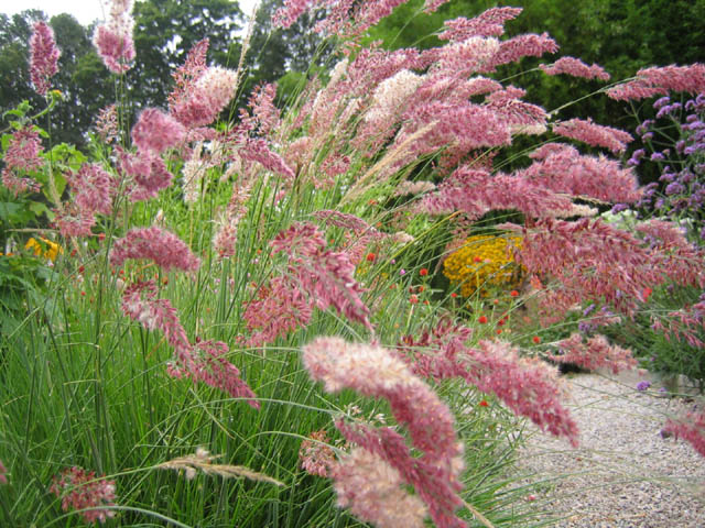 Pink paintbrush grass (Melinis nerviglums 'Savannah'