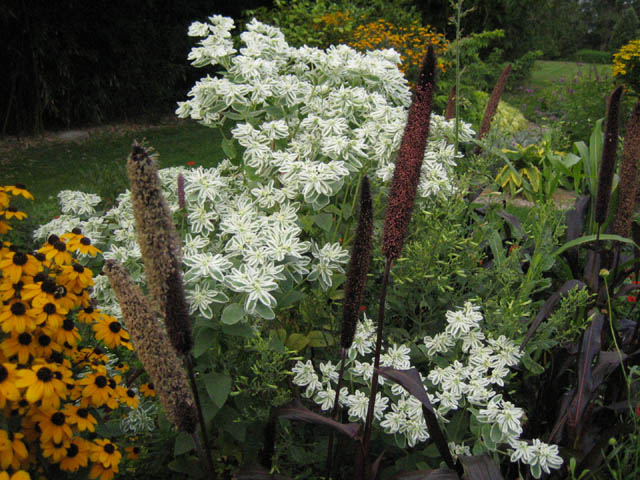 Ornamental millet, Snow on the mountain and Black-eyed Susan