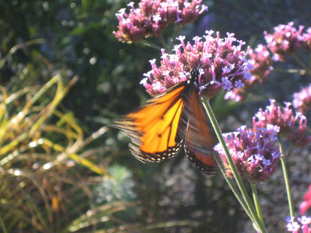 Monarch on Verbena bonariensis