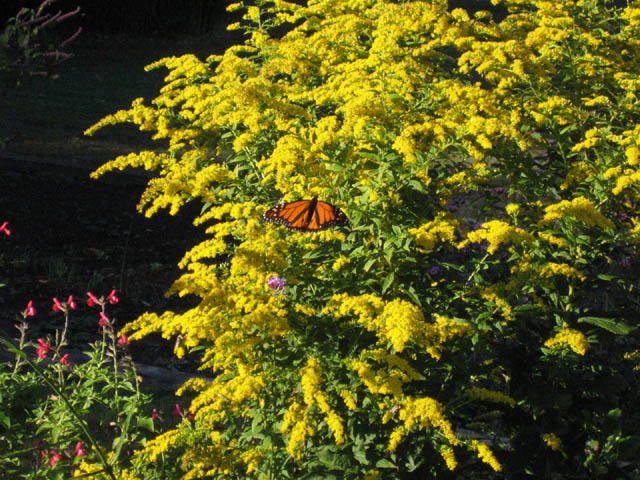 Monarch on Solidago (Golden Rod)