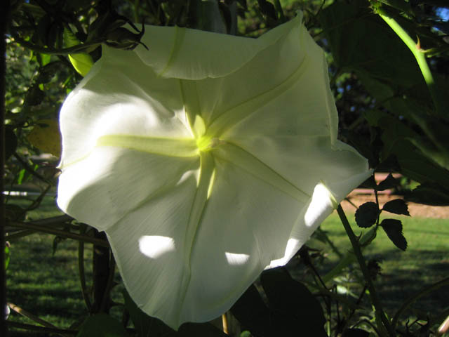 Moonflower (Ipomoea alba 'Giant White')