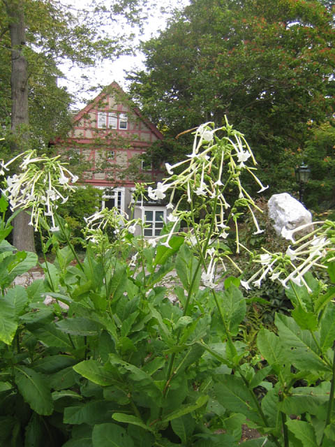 Flowering tobacco (Nicotiana sylvestris)