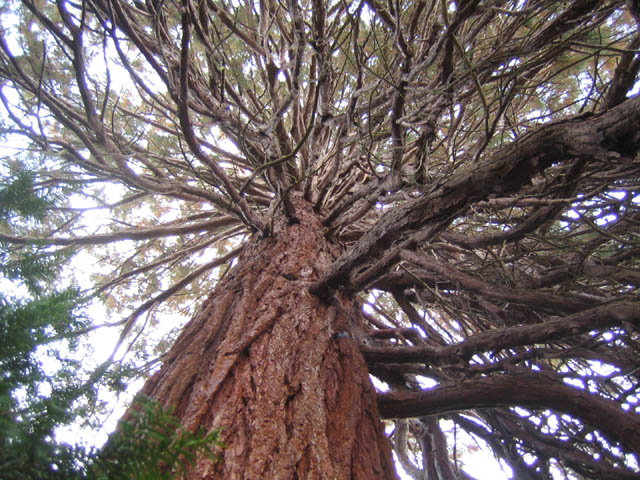 Giant Sequoia (Sequoiadendron giganteum) from the inside