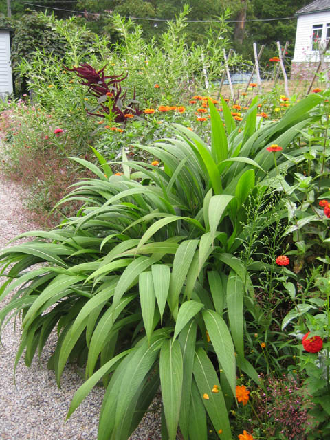 Setaria palmifolia in the Cutting Garden