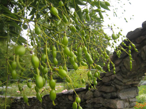 Sophora japonica beans
