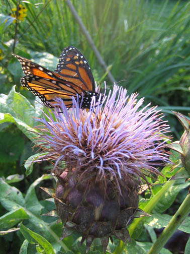 Monarch on the Thistle (Onopordum acanthium)