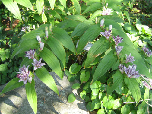 Tricyrtis hirta (Toad lily)