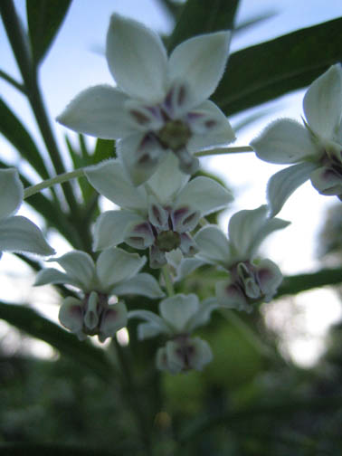 Asclepias physocarpa 'Oscar' (hairy balls) in the Cutting Garden