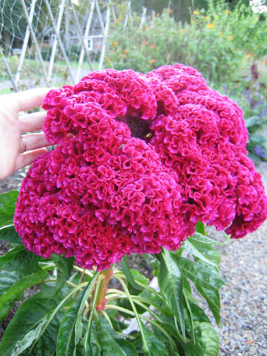Celosia bigger than my brain in the Cutting Bed
