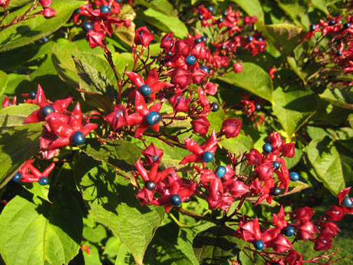 Clerodendrum trichotomum berry detail