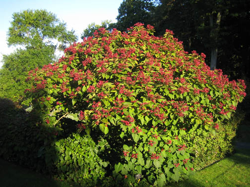 Clerodendrum trichotomum by the North Garden