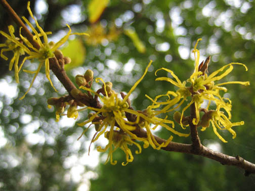 Common witch hazel - Hamamelis virginiana