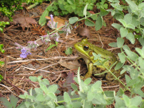 Frog combo in the Rock Garden
