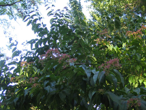 Heptacodium miconioides (Seven-son flower) just past bloom