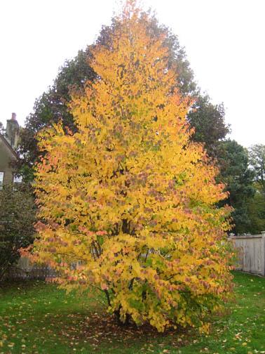 Katsura tree (Cercidiphyllum japonicum)