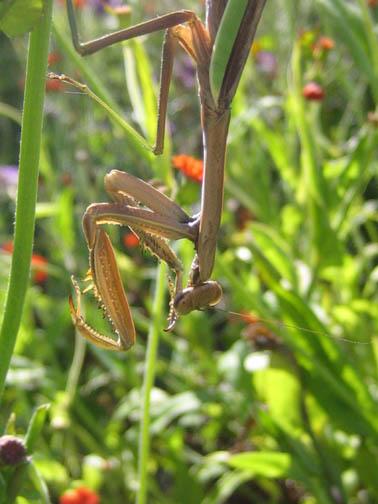 Praying cat mantis