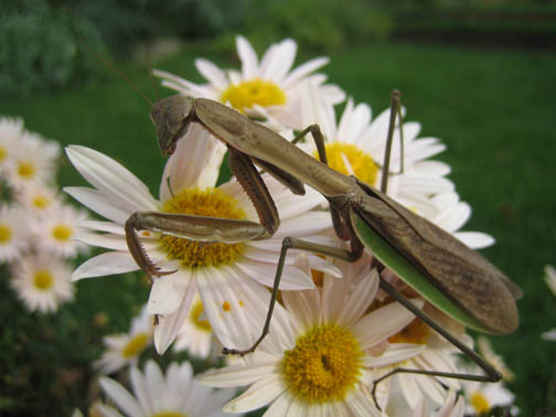 Praying mantis on a Sheffield mum