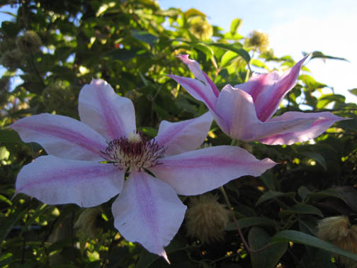 Clematis 'Nelly Moser' blooming again