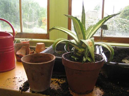 a new pot for Agave americana 'Mediopicta Alba'