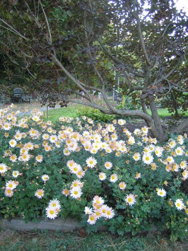 Chrysanthemum 'Sheffield'