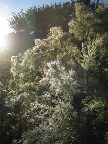 Tamarix ramosissima in the dewy morning light
