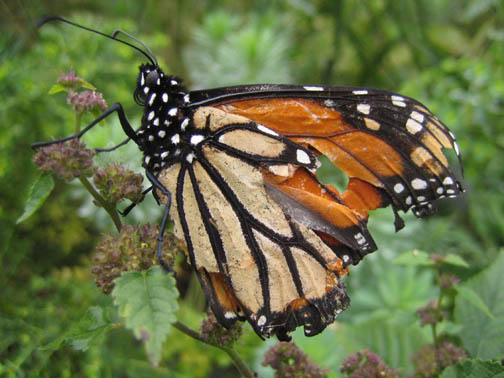 Monarch in October tatters