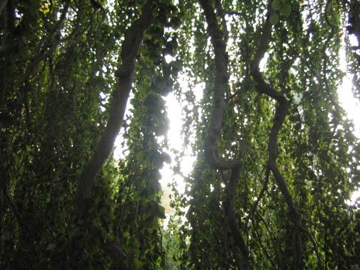 Weeping European beech - Fagus sylvatica 'Pendula'