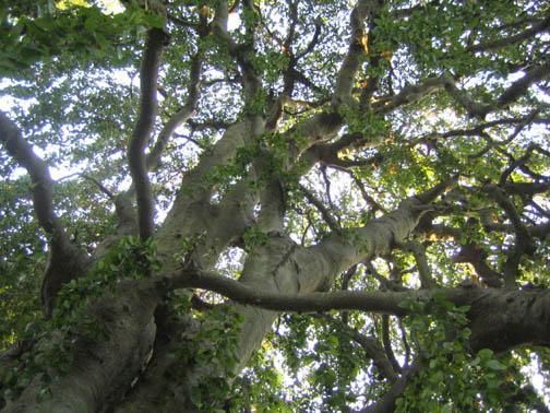 Weeping European beech - Fagus sylvatica 'Pendula' - a haunt-able tree