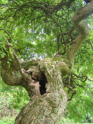 Weeping Pagoda Tree - Sophora japonica 'Pendula'