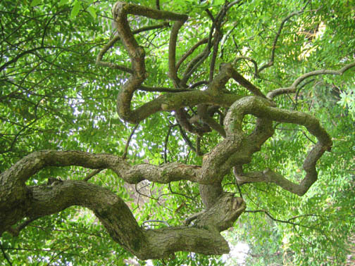 Weeping Pagoda Tree arms