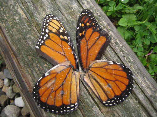 A monarch's worth of wings