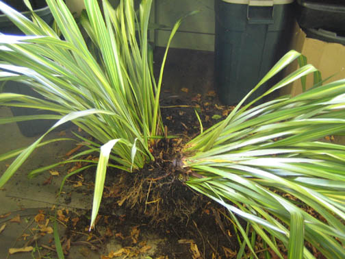 Dividing a Phormium (New Zealand flax)