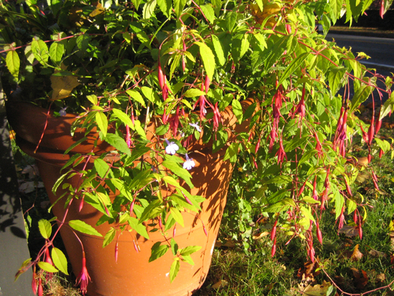 Entrance fuchsia and lobelia - still blooming away!