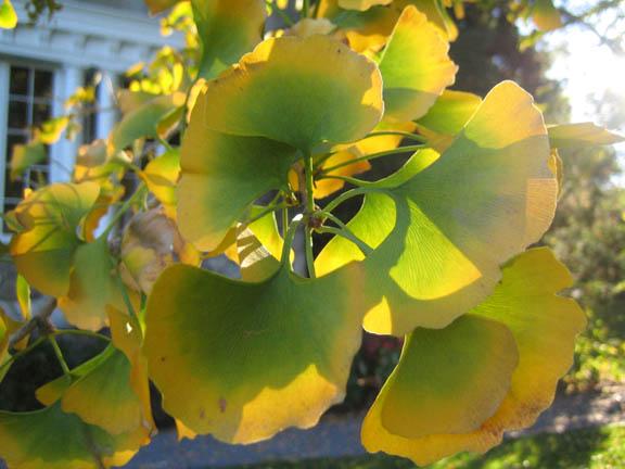 Gingko biloba leaf detail