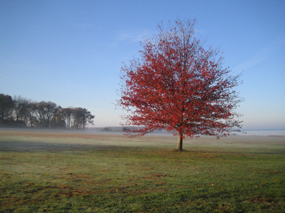 Red maple on the great lawn
