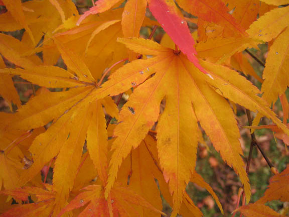 Acer palmatum (Japanese maple) detail