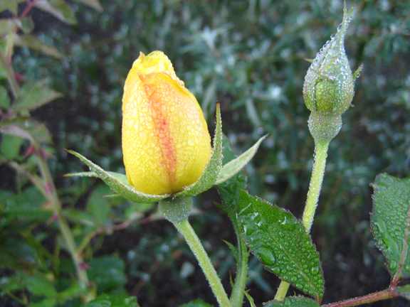 Rosa 'Morning Has Broken'