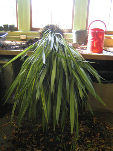 A Phormium being prepped for surgery