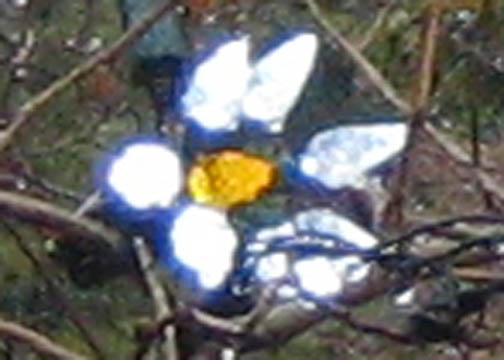 Christmas-star magnolia detail (Magnolia stellata var. davidii)
