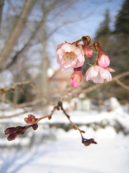 Prunus subhirtella 'Autumnalis' - Higan cherry/Autumn blooming cherry