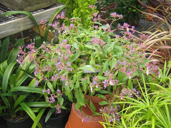 Cardiandra formosana - the whole pot