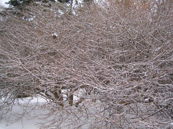 Euonymus alatus 'Compactus' nest in the snow