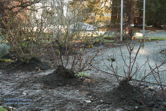 """Rose Garden roses were """"hilled up"""" and the long canes cut back - on the last warmish day before the snow fell!  Any pruning should be done when the temperatures are above freezing…"""