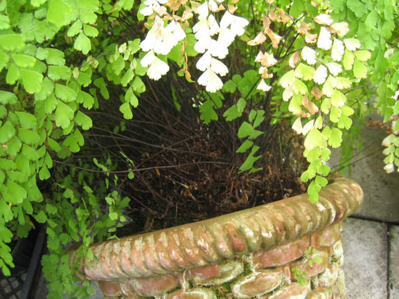 Maidenhair fern (Adiantum raddianum or A. cuneatum) in need of a hair cut