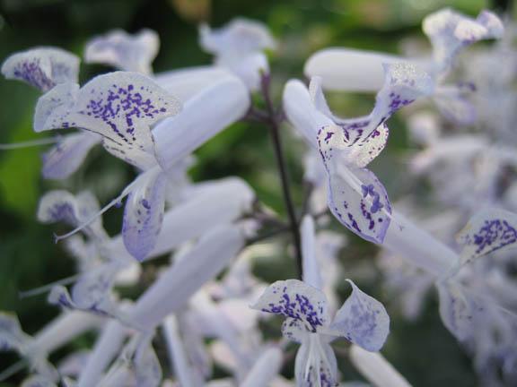 Plectranthus hilliardiae 'Candelabra' detail