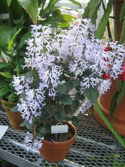 Plectranthus hilliardiae 'Candelabra'